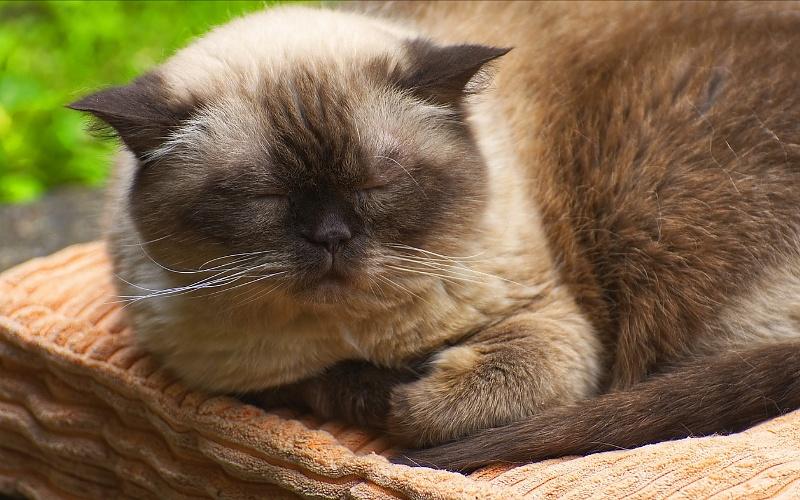 Vrste mačaka - Britanska kratkodlaka mačka