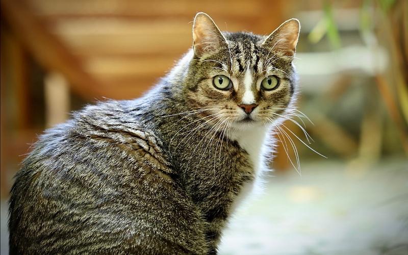 Vrste mačaka - Europska kratkodlaka mačka