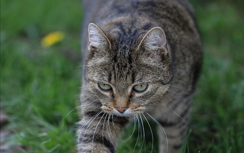 Europske kratkodlake mačke
