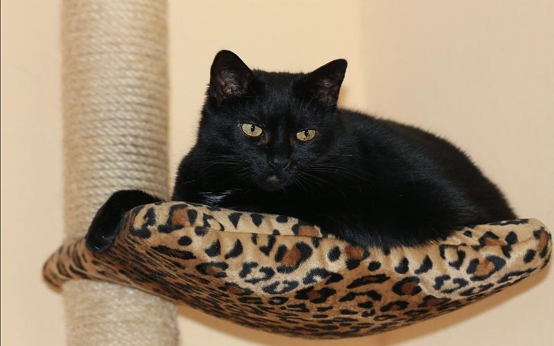 Vrste mačaka - Crna europska kratkodlaka mačka