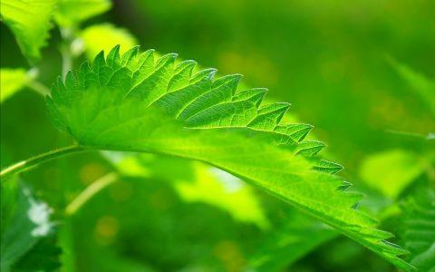 Kopriva je najljekovitija biljka na svijetu