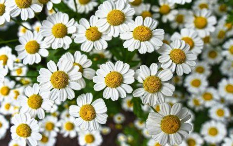 Kamilica je aromatična biljka učinkovita protiv bora