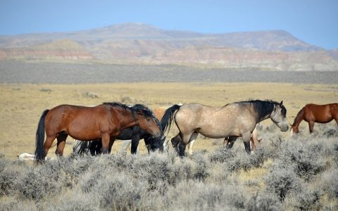 Zanimljivosti o konjima: Divlji konj Mustang
