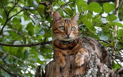 Bengalska mačka je mačka lijepog egzotičnog izgleda