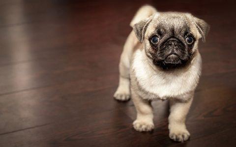 Bolesti srca kod pasa i uzroci bolesti