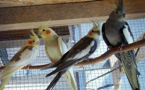 Nimfe su papagaji koji se brzo i lako pripitome