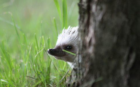 Afrički patuljasti ježevi su poslušne životinje